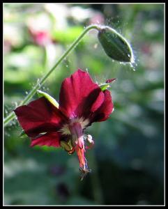 kwiatek (14.05.2009r.)