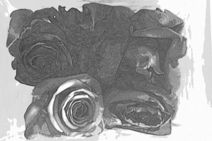 róże 2013r.