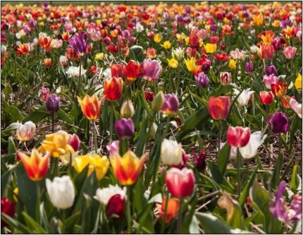 tulipany 2015r.