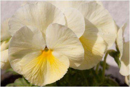 bratki- moje kwiatki 2016r.